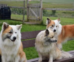Listi yfir greinar sem tengjast sögu íslenska fjárhundsins