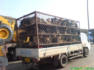 dogs-china-slaughter
