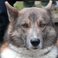Sérræktaðir hundar skynja sprengiefni og krabbameinsfrumur