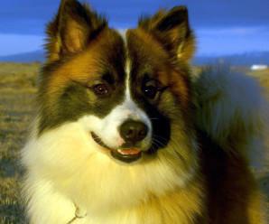 Bjargvættur íslenska fjárhundsins Mark Watson