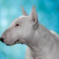 Rætt við formann HRFÍ um Bull Terrier