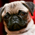 Hundaræktendur gefa ekki upp til skatts