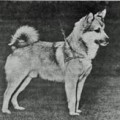Searching for Icelandic sheepdogs in East part of Iceland 1956