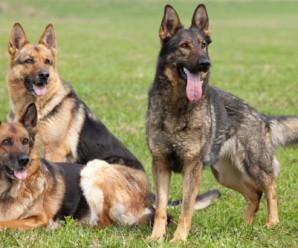 MAST – nýtt skapgerðarmat fyrir innflutta hunda