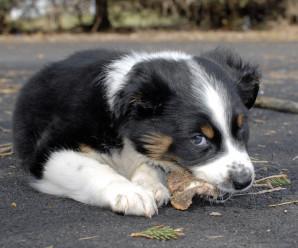 MAST Vöðvasullur í sauðfé og bandormahreinsun hunda