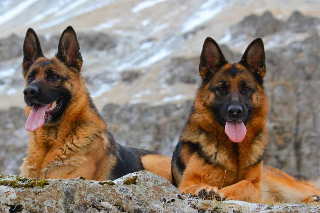3-hundar-hjordiss