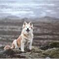 Reykjadals Icelandic Sheepdogs