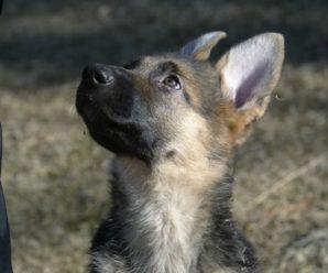 MAST: Hundaeigandi sviptur hvolpi