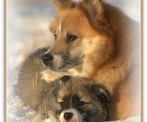 JuLY 18th – the Icelandic Sheepdogs day 2018